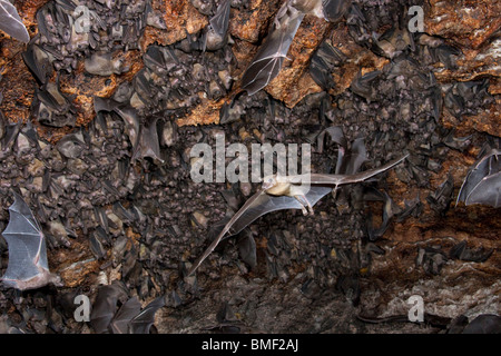 A colony of the Egyptian fruit bats in cave. - Stock Photo