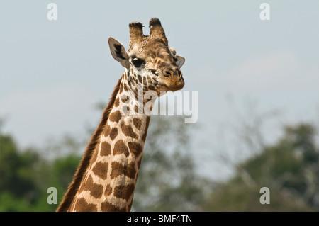 Masai giraffe (Giraffa camelopardalis tippelskirchi) - single adult male bull giraffe in close-up in courtship,Tsavo - Stock Photo