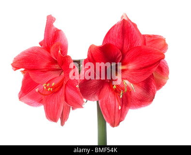 Amarilis isolated - Stock Photo
