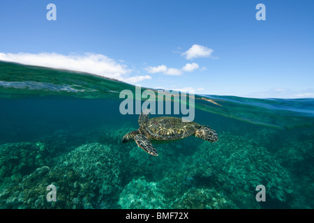 Above and below view of green sea turtle in West Maui, Hawaii. - Stock Photo