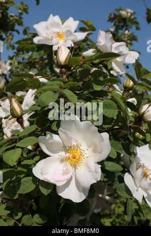 White Rambling Rose - Stock Photo