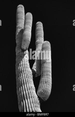 Cereus giganteus saguaro cactus in black and white - Stock Photo
