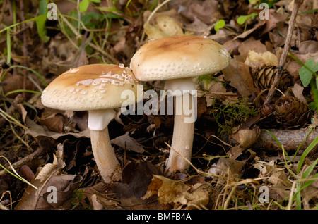 The Blusher, Amanita rubescens, fungi in mixed woodland - Stock Photo