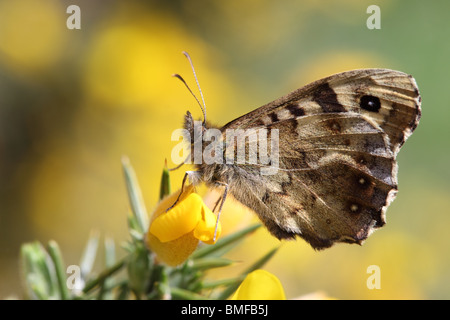 Speckled Wood Butterfly Pararge aegeria on Gorse Flower County Durham - Stock Photo
