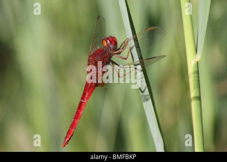 Male Scarlet Dragonfly Crocothemis erythraea - Stock Photo