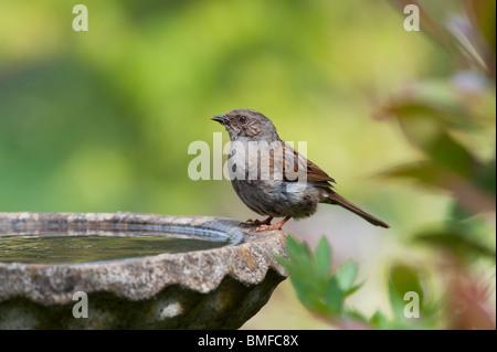 Dunnock drinking from a bird bath in an english garden. UK - Stock Photo