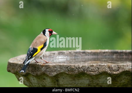 Goldfinch on a bird bath in a garden - Stock Photo