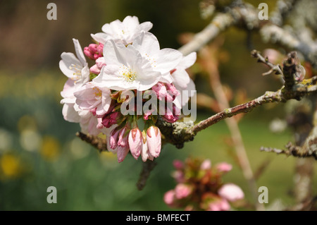 Batsford arboretum near Moreton in the Marsh  Cotswolds Gloucestershire England UK - Stock Photo
