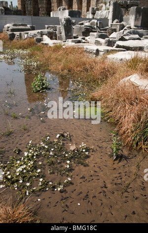 Turkey Antalya - Perge or ancient Pergamon - seasonally flooded watercourse with tadpoles of several kinds - Stock Photo