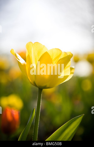 A yellow tulip in full bloom, close up - Stock Photo