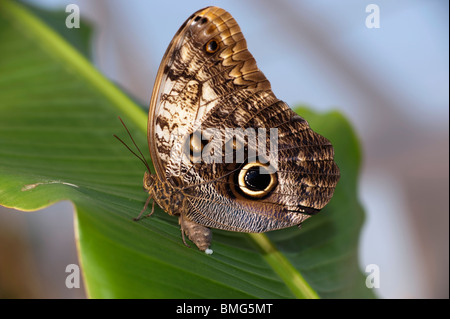 Owl Butterfly in the process of laying eggs - Stock Photo