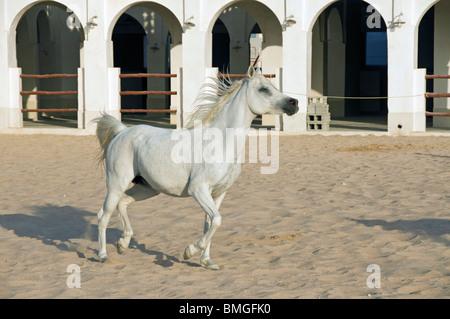 Elk205-1359 Qatar, Doha, Arabian horse center, horse - Stock Photo