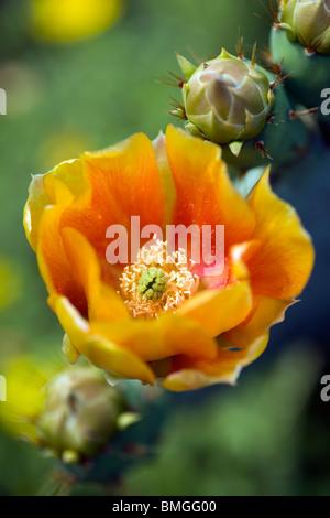 Close-up of Orange Flower of Prickly Pear Cactus - Los Novios Ranch - near Cotulla, Texas USA - Stock Photo