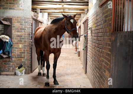 Big bay horse tethered to wall in stables in Bogota. - Stock Photo