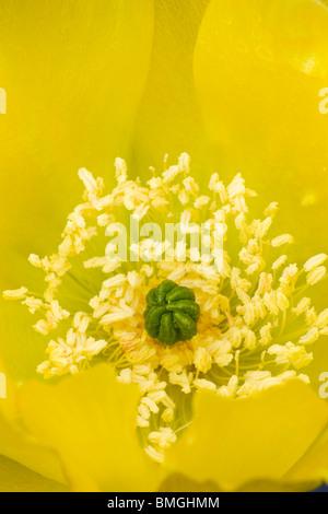 Close-up of Yellow Flower of Prickly Pear Cactus - Los Novios Ranch - near Cotulla, Texas USA - Stock Photo