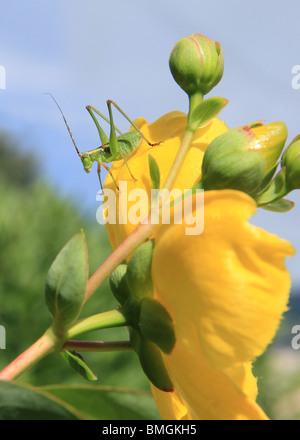 long-legged green grasshopper standing on big yellow flower in Summer - Stock Photo