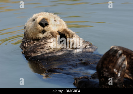 Stock photo of a California sea otter floating on his back, Moss Landing, California, May 2010. Stock Photo