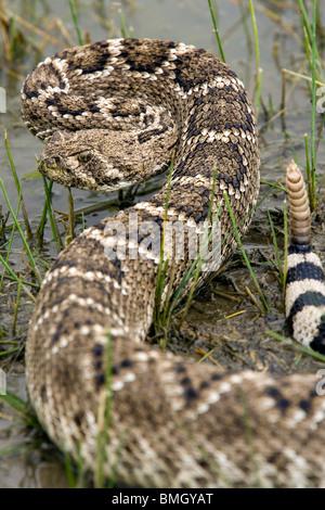 Western Diamondback Rattlesnake - Los Novios Ranch - near Cotulla, Texas USA - Stock Photo