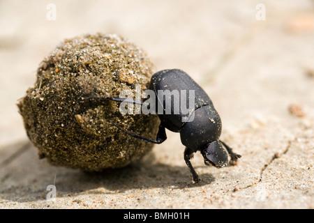Dung Beetle - Los Novios Ranch - near Cotulla, Texas USA - Stock Photo