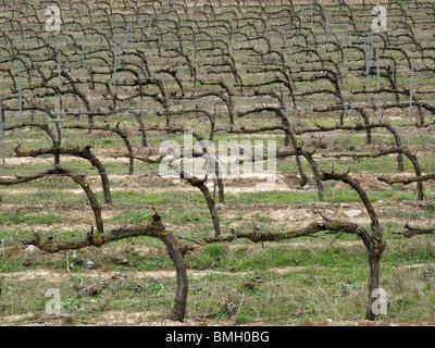 Viñedos en Navarra. España. CAMINO DE SANTIAGO. Vineyards in Navarre. Spain. WAY OF ST JAMES. - Stock Photo