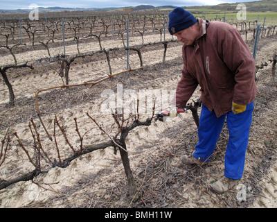 Vineyards in Navarre. Spain. WAY OF ST JAMES. vineyard winter dry wintertime - Stock Photo
