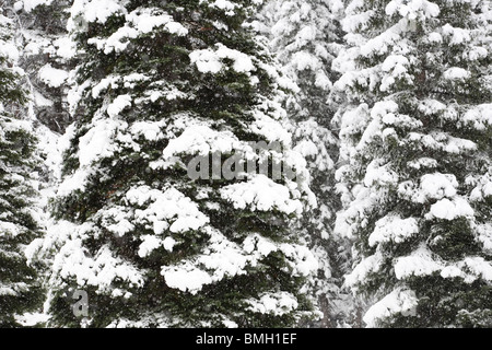 close-up snow covered pine tree forest in nature during snow storm - Stock Photo