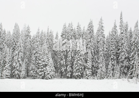 snow covered pine tree forest in nature during snow storm - Stock Photo
