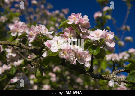 Pink and white blossom on a Granny Smith apple tree in Scotland in springtime - Stock Photo