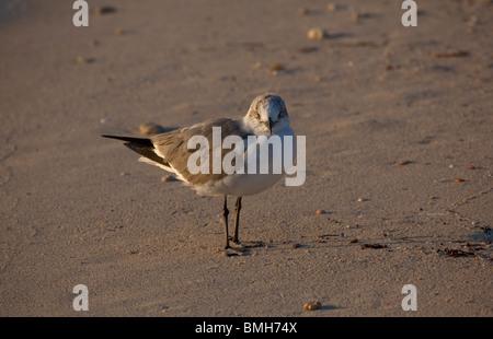 Laughing gull - Leucophaeus atricilla or Larus atricilla - Stock Photo
