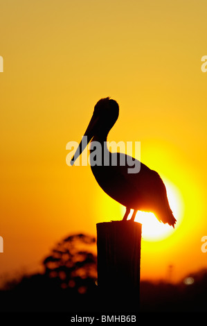 Brown Pelican Silhouetted against Setting Sun on Dock Piling in Shem Creek in Mount Pleasant, South Carolina - Stock Photo