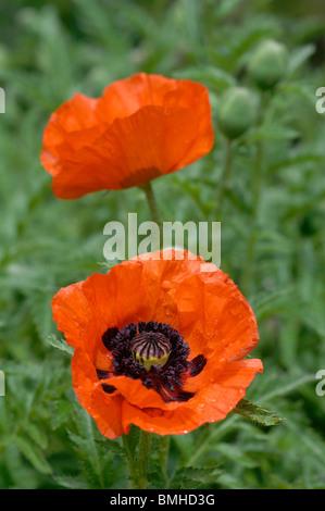 Oriental Poppy, Papaver Orientale - Stock Photo