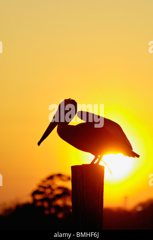 Brown Pelican about to take Flight Silhouetted against Setting Sun on Dock Piling in Mount Pleasant, South Carolina - Stock Photo