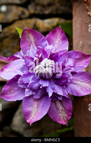 Close-up of a double purple clematis flower - Stock Photo
