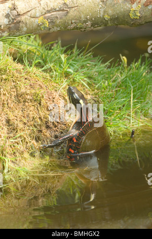 North American Painted Turtle (Chrysemys picta marginata). Emerging from water to sun bathe. Thermoregulation. - Stock Photo