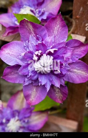 A close-up of a double purple clematis flower bloom - Stock Photo