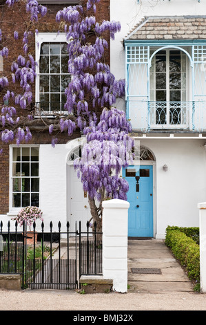 Wisteria in flower on front of house in Kew, London, UK - Stock Photo