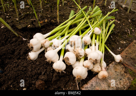 Freshly picked garlic from the garden - Stock Photo