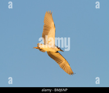 Black-crowned  Night-Heron in flight at sunset. 'Nycticorax nycticorax' Chincoteague National Wildlife Refuge. Maryland, - Stock Photo