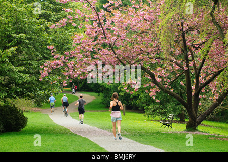 Cherry tree in bloom and people jogging, bicycling and walking on footpath in Washington Park Arboretum; Seattle, Washington
