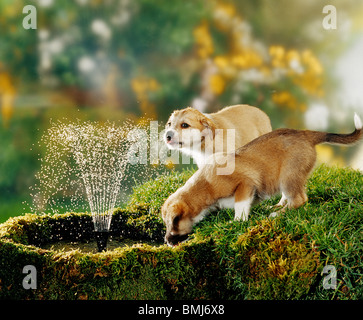 two half breed dog puppies drinking at water-fountain - Stock Photo