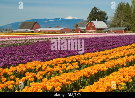 Tulip fields at Tulip Town, Skagit Valley, Washington. - Stock Photo