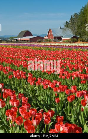 Tulip field at Tulip Town, Skagit Valley, Washington. - Stock Photo