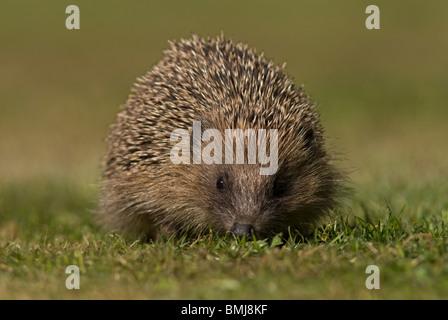 Hedgehog, (Erinaceus europaeus), on garden lawn, Norfolk - Stock Photo