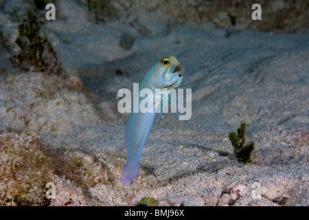 Male Yellow Headed Jawfish with eggs in his mouth (Opistognathus aurifrons) popping up out of his borough in the - Stock Photo