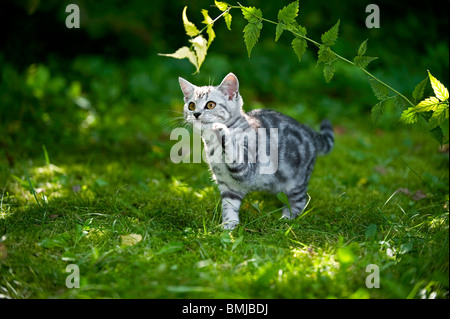 British Shorthair cat - kitten playing with twig - Stock Photo