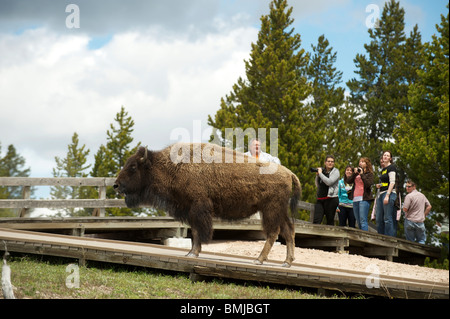 A Bison, or American Buffalo, walks near tourists in Yellowstone National Park. Wyoming, USA - Stock Photo