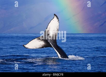 Humpback whale tail with rainbow, Molokai, Hawaii. - Stock Photo