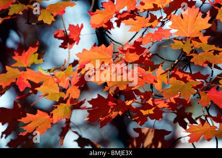 Bigtooth Maple (Acer grandidentatum) leaves in autumn - Stock Photo