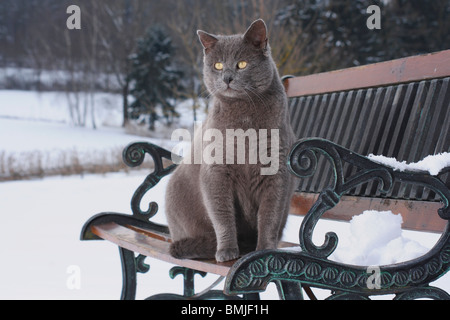 grey domestic cat on bench in snow - Stock Photo