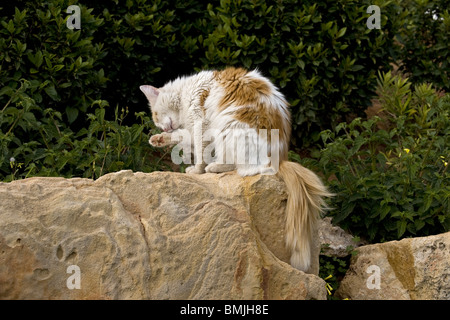 male cat cleaning itself - Stock Photo